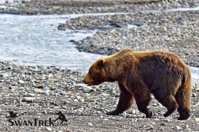 Grizzly In Denali National Park by KJ Swan
